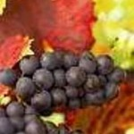 wine grape variety list